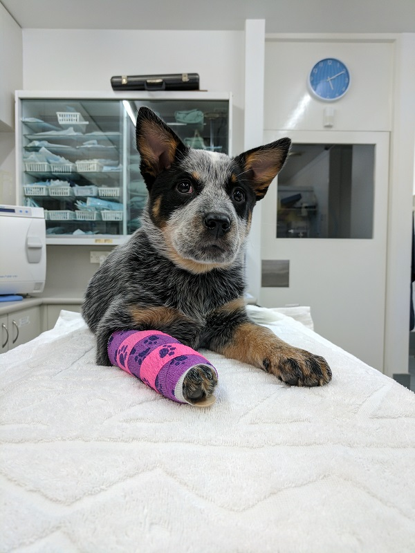 Bluebell, Blue Heeler