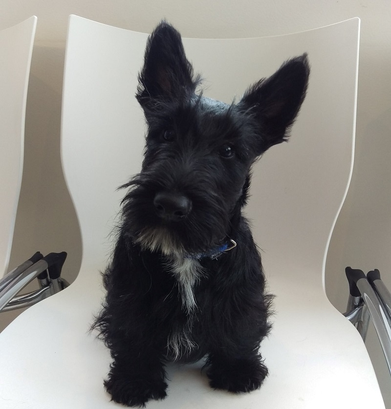 Freya, Scottish Terrier