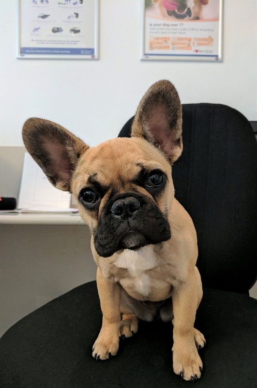 Sage, French Bulldog